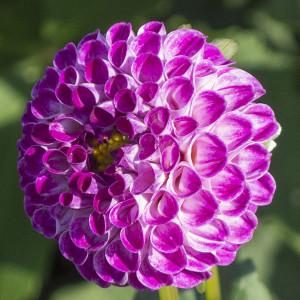 Willo's Violet (P)