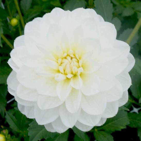 White Onesta